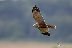 Marsh Harrier (Simon Stobart) Tags: marsh harrier circus aeruginosus flying england uk