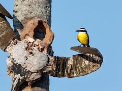 Pantanal_4251 (Jimmy Vangenechten 76) Tags: geo:lat=1641079677 geo:lon=5667230436 geotagged brazilië brazil pantanal wildlife animal bird vogel poconé matogrosso estradatranspantaneira transpantaneirahighway mt060rodoviatranspantaneira microrregiãodoaltopantanal mesorregiãocentrosulmatogrossense centralwestregion pousadaportalparaiso greatkiskadee pitangussulphuratus bentevi schwefelmaskentyrann bienteveocomún luisbienteveo bichofuégritón pitojúi grotekiskadie kiskadìmaggiore tyranquiquivi bemtevi