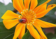 colors of nature (majka44) Tags: insect red yellow ladybug nature flower light colors day 2019 garden macro macroworld nice composition