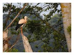 The Young Acrobat... (M.L Photographie) Tags: animal nature bird oiseau ornitho ornithology ornithologie wild wildlife wildlifephoto wildlifephotography france normandie eure stork ciconia cigogne nikon coolpix p900