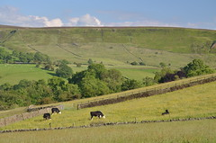 Grazing Cattle, Peak District National Park, Derbyshire, England. (westport 1946) Tags: england unitedkingdom peakdistrict nationalpark derbyshire combs combsedge combsmoss bluesky sky clouds ridge hillside hill hills foothill grasslands grass grassland fields field farmland farm farmanimals cattle cows trees tree landscape countryside rural outdoor tranquility serenity peaceful idyllic serene tranquil grazing stonewalls