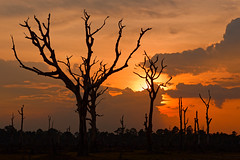Dead trees and sunset (unsharptooth) Tags: sunset trees goldenhour siemreap cambodia landscape landscapephotography silhouette ngc nikon d610 happyplanet asiafavorites 85mm f18g nikkor