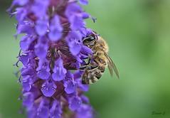 Big Eyed Busy Bee (Eleanor (New account))) Tags: bee honeybee flower salvia macro garden stanmore uk nikond7200 june2019