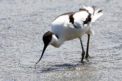 Avocet (robin denton) Tags: recurvirostraavosetta titchwell rspbreserve rspb titchwellmarsh wader bird nature wildlife northnorfolkcoast norfolk