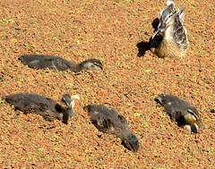 Duck family (Tony Worrall) Tags: birds wild wildlife outdoors canal cute life natural nice wet water fowl rspb duck baby duckling brown weeds overgrown preston lancs lancashire city welovethenorth nw northwest north update place location uk england visit area attraction open stream tour country item greatbritain britain english british gb capture buy stock sell sale outside caught photo shoot shot picture captured ilobsterit instragram photosofpreston ashtononribble ashton