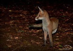 Red Fox (cub) - Buckinghamshire (Alan Woodgate) Tags: fox wild cub uk alert