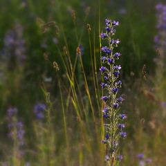 Wild flowers (JLM62380) Tags: nature fleur flower wild summer blue macro proxi vipérine echium