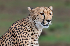 Kisaru on the Lookout (Xenedis) Tags: acinonyxjubatus africa afrika animal bigcat cat cheetah duma eastafrica grass kenya kisaru maasaimara maranorthconservancy narokcounty plains republicofkenya riftvalley safari wildlife fh ig