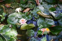 waterlilies in bloom (viktor.rpprt) Tags: szeged canona1 canonfd botanicgarden flower waterlily film filmphotography filmisalive thefilmcommunity thefilmgang kodakfilm shootfilm shotonfilm grain ishootfilm vintagecamera analog