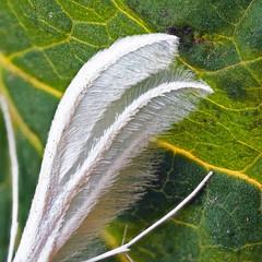 White Plume Moth Pterophorus pentadactyla (Clive E Jones) Tags: boughton heath allotments cheshire moths mothtrapping nature white plume moth pterophorus pentadactyla