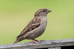 (Just a) House Sparrow (Brian Dunning) Tags: sparrow passerdomesticus canon eos7dmarkii ef500mmf4lisusm ex14markiii