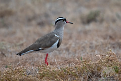 Crowned Plover #Explored (fascinationwildlife) Tags: animal wild wildlife wildlifephotography nature natur national naturephotography naturfotografie nationalpark park crowned plover kronenkiebitz kiebitz bird birding eastern cape addo elephant south africa summer südafrika afrika vogel sanparks