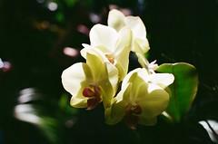 also orchid (viktor.rpprt) Tags: szeged canona1 canonfd botanicgarden flower orchid film filmphotography filmisalive thefilmcommunity thefilmgang kodakfilm shootfilm shotonfilm grain ishootfilm vintagecamera analog