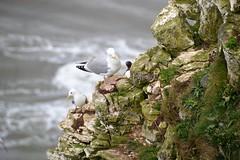 I'm the king of the castle..... (suekelly52) Tags: kittiwake herringgull guillemot seabirds cliff rspbbemptoncliffs bird wingwednesday