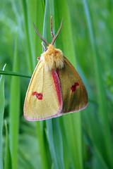 Ööliblikas (Jaan Keinaste) Tags: olympussh1 eesti estonia loodus nature ööliblikas moth cloudedbuff rotrandbär karhusiilikäs diacrisiasannio aasakaruslane