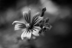 IMG_5366 (davidmilletti) Tags: flowers flora flower fiore bnw biancoenero blackwhite monochrome nature naturephotography canon 80d garden macro