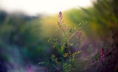 earth smoke (Simon[L]) Tags: fumaria navitar75mmf13 tvlens cmount obscured wildflower