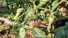 Tomate morado (eitb.eus) Tags: eitbcom 26743 g1 tiemponaturaleza tiempon2019 flora bizkaia orozko arantzasanpedro