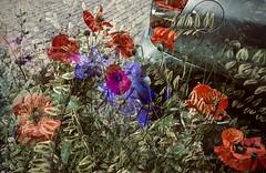 klaproos (delnaet) Tags: klaproos poppy coquelicot fleur bloem blume flower olympus stylus xz 10 xz10 group photomanipulation