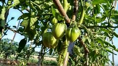 Tomate corazón de buey (eitb.eus) Tags: eitbcom 26743 g1 tiemponaturaleza tiempon2019 flora bizkaia orozko arantzasanpedro