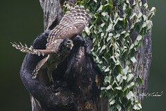 Soggy Mama_T3W4437 (Alfred J. Lockwood Photography) Tags: alfredjlockwood nature wildlife barredowl birdsinflight birdsofprey raptor takeoff launch oaktree overcast spring morning colleyvillenaturecenter texas photomanipulation