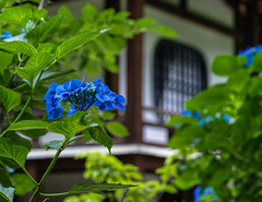 Temple hydrangea. Hasselblad X1D. (Tim Ravenscroft) Tags: hydrangea flower temple kajuji kyoto japan pagoda hasselblad hasselbladx1d