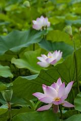 DSC_3296_0001 (albertpcwu) Tags: 荷花 lotus 東勢林業文化園區 hasselblad carl zeiss 4180mm