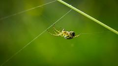 _IMG4722 (angel.doychinov) Tags: macro m42 carlzeissjena flektogon35mm pentax k1 spider manualfocus oldlens saariysqualitypictures