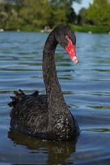Cygne noir (Sam Photos with Sony native jpeg) Tags: cygnes lyon swan swans cygne river france couple rhône quai black noir noirs