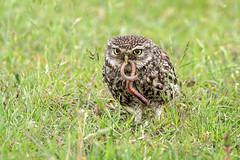 Little Owl (Athene noctua) (DerekL1) Tags: littleowl athenenoctua earthworm birdofprey westmidlands uk canon7d2 canonef500mmf4l kenkotelepluspro300dg14x owl avian bird