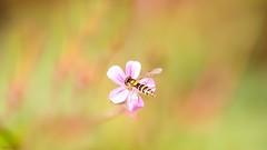 #Minimalism - 6992 (✵ΨᗩSᗰIᘉᗴ HᗴᘉS✵63 000 000 THXS) Tags: minimalism flower flora insect macro canon canonrp belgium europa aaa namuroise look photo friends be yasminehens interest eu fr party greatphotographers lanamuroise flickering