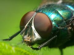 I've got my eye on you (John Spooner) Tags: panasonic lumix gx80 gx85 insect fly green bottle greenbotle compound eye leaf hair