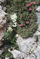 t9901045F (m-klueber.de) Tags: t9901045f alpen ostalpen südalpen italia italy italien dolomiten dolomites dolomiti mk1999dolom t9901045 mk1999dolom2 ampezzanerdolomiten ampezzaner flora alpenpflanze gebirgspflanze pflanze blume alpin blütenfarbe saxifragaceae saxifraga squarrosa sparriger steinbrech weis rosaceae fingerkraut potentilla nitida rosa 19990806 alpenflora 1999 mkbildkatalog pflanzenwelt