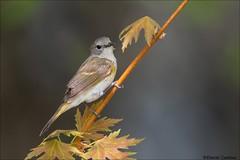 Female American Redstart (Daniel Cadieux) Tags: warbler americanredstart female forest songbird ottawa