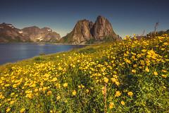 Carpet of spring flowers (Sizun Eye) Tags: lofoten toppoya reine fjord norway sizuneye nikond750 nikkor1424mm nikkor 1424mmf28 spring june flowers 2019