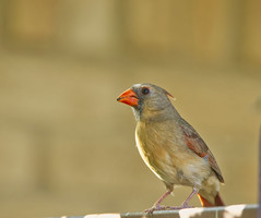 Female Northern Cardinal (pcsnowman) Tags: bird avian northern cardinal female outdoor nature animal nikon d500 tamron 150600mm