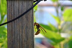 20190626_005_2 (まさちゃん) Tags: 蜂 bee 食事
