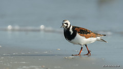 Ruddy Turnstone (Earl Reinink) Tags: bird turnstone earlreinink beach ocean water animal nature dzodraodea ruddyturnstone