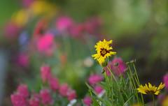 My Garden... (KissThePixel) Tags: flowers garden mygarden colours cottage cottagegarden longacremanor homegrown nikon nikondf df sigma sigma70200mm f28 bokeh bokehlicious light