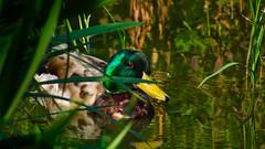Entenbad (tiefenunscharf) Tags: nature duck drake natureza pond water swimming wet animal zoom hide closeup