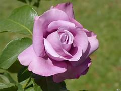 Rosa1156 (juantiagues) Tags: rosa flor color juantiagues juanmejuto