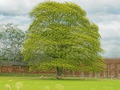 Tree round (alanrharris53) Tags: pep ventosa tree round multiexposure calke abbey park sheep house nt nationaltrust