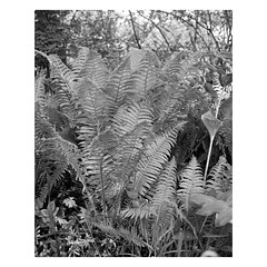 00007884-04 (csinnbeck) Tags: bw fern 120 film monochrome analog fuji gs645s mediumformat garden 645 plus hp5 medium format mf ilford hp5plus