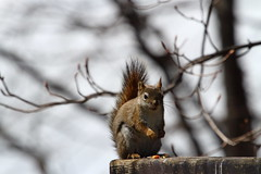 Écureuil IMG_0218 (Paul_Paradis) Tags: wildlife animal fall automne ecureuil squirrel nature natural ciel arbre tree canada quebec iledorleans