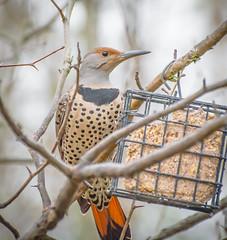 Female,s Rule. (Omygodtom) Tags: existinglight wildlife bird flickerwoodpecker female girl nature natural d7100 bokeh dof 70300mmvrlens flickriver