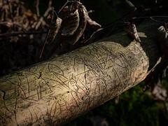 Une page du livre de la Nature (Clydomatic) Tags: arbre branche bois traces insectes larves dessin écriture