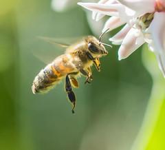 Beeing Selective. (Omygodtom) Tags: natural nikkor macro bokeh dof d7100 elitebugs honeybee insect bug flickriver wildlife tamron90mm detail
