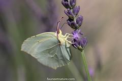 Citron de Provence (fauneetnature) Tags: papillon butterfly insect insecte macro macrophotographie macrophotography proxy proxi wildlife wildlifephotography nature naturephotography photonature provence lavande