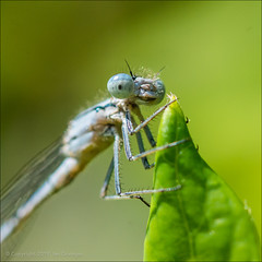 Beady Eyed Bug (*ian*) Tags: animal bug closeup creature creepycrawly damselfly fauna flora foliage green greenleaf insect invertebrate leaf macro nature odonata square wildlife