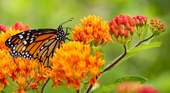 Monarch Feeding (Bernie Kasper (6 million views)) Tags: art berniekasper butterfly bug butterflies bugs color colour d750 family flower floral flowers fun butterflyweed green hiking indiana indianawildflowers insect insects indianabutterflies jeffersoncounty light landscape leaf love madisonindiana macro nature nikon naturephotography new outdoors outdoor old outside photography park plant photos photo people raw sigma summer travel trail unitedstates wildflower wildflowers swallowtail monarchbutterfly monarch